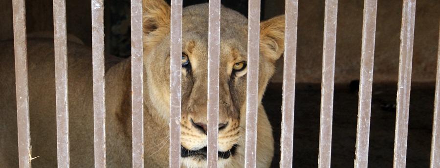 Traslladen els lleons i óssos d'Aqualeon a una reserva de Colorado, als EUA