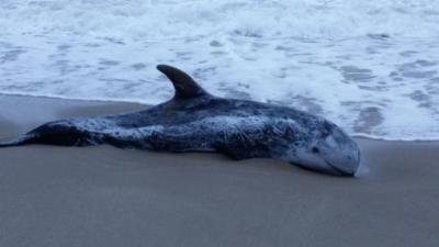Exemplar de cap d'olla trobat a la sorra de la platja de Sant Salvador del Vendrell. Sònia Marín