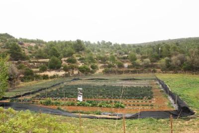 Recuperació de la col brotonera o espigall al Parc del Garraf. Diputació de Barcelona
