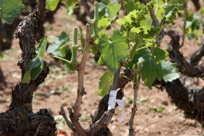 Unió de Pagesos alerta que la greu sequera pot fer perdre la meitat de collites de vinya, fruita seca, olivera i pastures