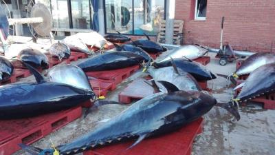 Arriba una pesquera de més de 4 tones de tonyines vermelles al port de Vilanova. EIX
