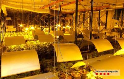 Desmantellada una plantació de marihuana amb més de 1.100 plantes en una nau industrial de Santa Oliva. Mossos d'Esquadra