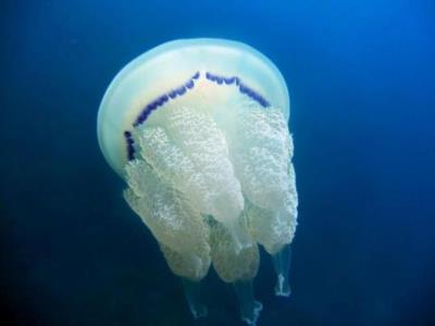 Alerta per la presència de meduses Rhizostoma pulmo des del Maresme fins a Cubelles. EIX