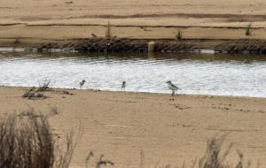 Nova nidificació del corriol camanegre al torrent de Sant Joan