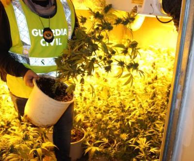Pla mig d'un agent de la Guàrdia Civil amb una de les plantes de marihuana intervingudes en una casa unifamiliar de Sant Jaume dels Domenys. Imatge pu