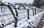 Vinyes nevades al Penedès