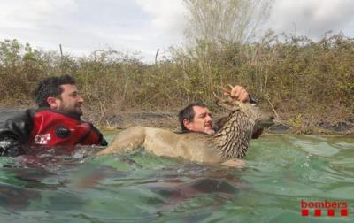 Agents rurals rescatant un cabirol que havia caigut en una bassa a Sant Pere de Riudebitlles. Bombers