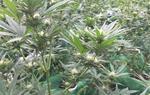 Desmantellen tres plantacions de marihuana en una setmana a diferents municipis de l'Alt Penedès