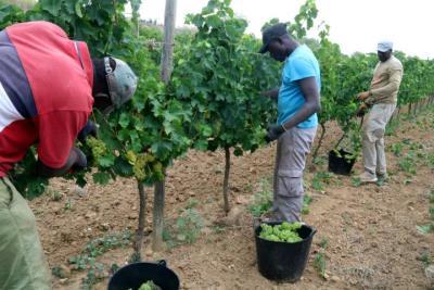 Imatge d'un treballadors collint raïm en una de les vinyes del Celler Gramona el 20 d'agost de 2019. ACN