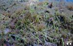 L'alga invasora Caulerpa cylindracea