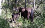 Neix el Bruc, el primer cavall nascut en llibertat al parc natural del Garraf