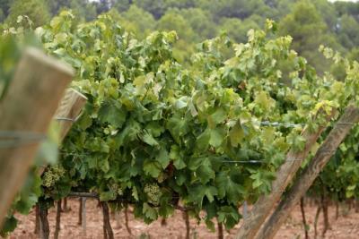 El govern espanyol cedeix a la DO Cava la limitació de plantacions