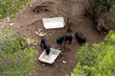 Pla obert de tres exemplars de porc vietnamita apropant-se a uns abeuradors al parc de la Muntanyeta de Tarragona abans de ser capturats. ACN