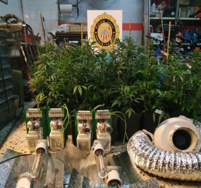 Una infracció de trànsit destapa una plantació il·legal de marihuana, a Vilanova. Policia local de Vilanova