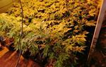 Dsmantellen dues plantacions indoor de marihuana a Cubelles