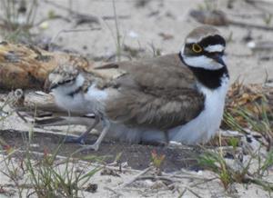 Exemplar adult i pollet de corriol petit (Charadrius dubius), a la platja llarga