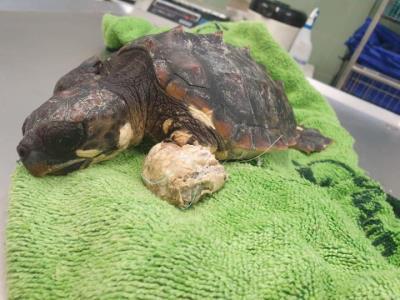 Troben una tortuga marina ferida a la platja de Sant Salvador del Vendrell. Ajuntament del Vendrell