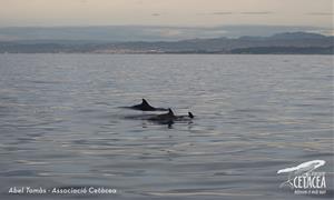 Albirament de dofins a la costa del Garraf