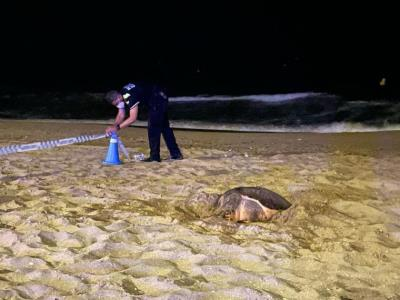 Descobreixen a Calafell el primer niu de tortuga marina d'aquesta temporada. Ajuntament de Calafell