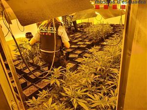Desmantellen una plantació de marihuana indoor en una nau industrial al Pla del Penedès
