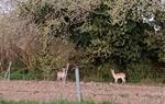 Imatges de dos cervatells passejant entre Vilafranca i Sant Sadurní