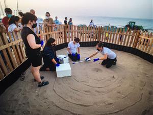 Neixen 44 tortugues careta a la platja de Calafell després de gairebé dos mesos de vigilància dels ous